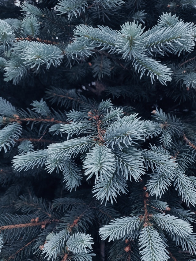 shallow-focus-photography-of-green-coniferous-tree-2456348